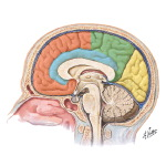 Medial Surface of the Brain: Lobes and Functional Areas