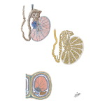 Illustration of Testis, Epididymis, and Ductus Deferens from the Netter Collection