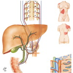 Innervation of the Liver and the Biliary Tract