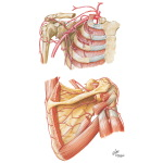Arteries of the Shoulder