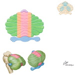 Functional Subdivisions of the Cerebellum