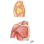 Illustration of Muscles: Deltoid and Pectoral Region from the Netter Collection