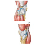 Knee: Lateral and Medial Views