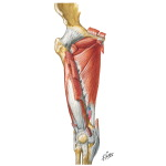 Muscles of Thigh: Anterior Views