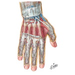 Wrist and Hand: Deep Dorsal Dissection