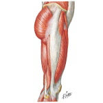 Muscles of Hip and Thigh: Lateral View