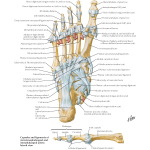 Illustration of Ligaments and Tendons of Foot: Plantar View from the Netter Collection