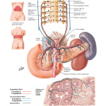 Innervation of Pancreas: Schema