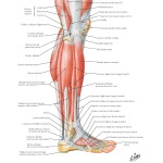 Illustration of Muscles of Leg: Lateral View from the Netter Collection