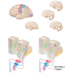 Corticocortical and Subcorticocortical Projection Circuits