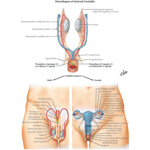 Homologues of Internal Genitalia