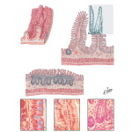 Microscopic Structure of the Small Intestine