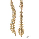 Vertebral Column: The Spine