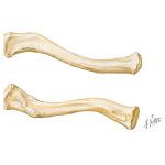 shoulder bones pectoral girdle