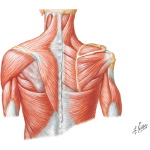Shoulder: Muscles