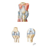 Leg: Knee Joint and Ligaments
