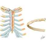 Thoracic Wall: Joints of the Thoracic Cage