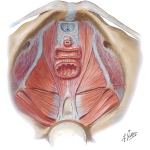 Pelvis: Muscles of the Pelvic Floor