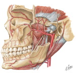 Illustration of Temporal Region: Maxillary Artery from the Netter Collection