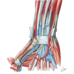 Illustration of Flexor Tendons, Arteries, and Nerves At Wrist from the Netter Collection