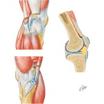 Medial and Lateral Views of  the Knee