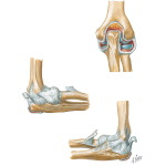 Joints and Ligaments of the Elbow