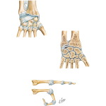 Joints and Ligaments of the Wrist and Hand