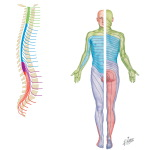 Spinal Nerves and Sensory Dermatomes