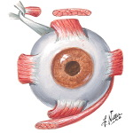 Innervation and Action of Extrinsic Eye Muscles: Anterior View of Left Eye