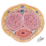 Cross Section Through Body of Penis