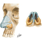 Nose (Skeleton): Anterolateral and Inferior Vieiws