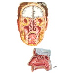 Paranasal Sinuses: Coronal and Sagittal Sections