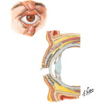 Eyelids: Anterior View and Orbital Structures