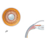 Lens and Supporting Structures of Eye