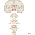 Reticular Formation: Nuclei and Areas in the Brain Stem and Diencephalon