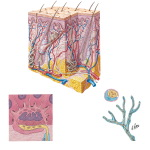 Skin and Cutaneous Receptors