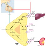 Regulation of Adrenal Hormone