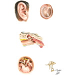 External Ear and Tympanic Cavity