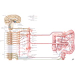 Illustration of Autonomic Innervation of the Colon from the Netter Collection