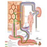 Bilirubin Production and Excretion - Netter Medical Artwork