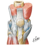 Anterior Muscles of Knee