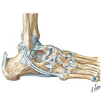 Lateral Ligaments of Ankle