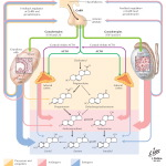 Regulation of Estrogen and Testosterone