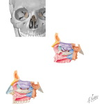 Bones of the Skull: Ethmoid Bone