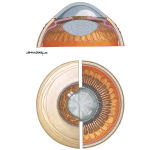 Anterior Segment of the Eye