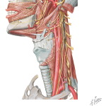 Nerve Supply of the Neck: Cranial Nerves of the Neck