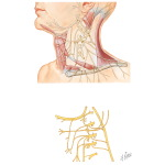 Nerve Supply of the Neck: Cervical Plexus of the Neck
