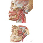 Vascular Supply of the Face: Arterial Supply