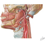 Contents of the Parotid Bed: Vascular Supply