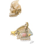 Maxillary Injections: Innervation and Osteology Landmarks